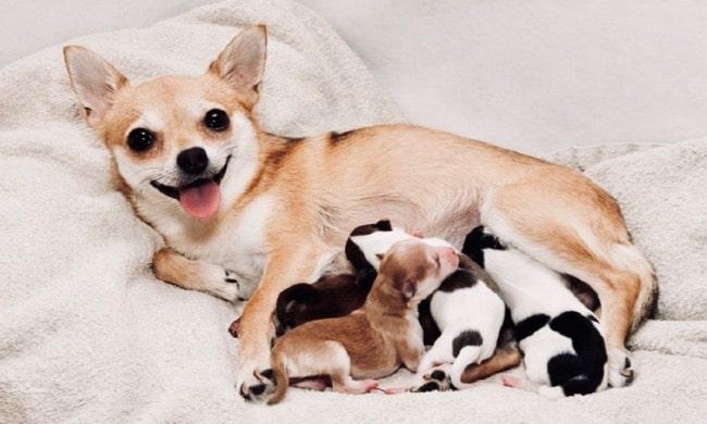 cómo saber si mi perra está embarazada